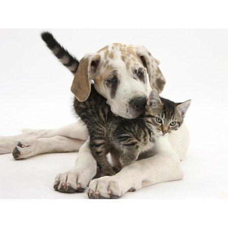 Tabby Kitten, Fosset, 10 Weeks, with Great Dane Puppy, Tia, 14 Weeks Print Wall Art By Mark