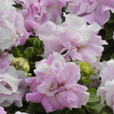 Petunia - Double Cascade Series Flower Garden Seed - 1000 Pelleted Seeds - Orchid Mist Blooms - Annual Flowers - Double Grandiflora Petunias