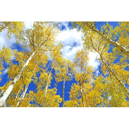 Autumn Foliage: Aspen Trees in Fall Colors Print Wall Art By robert cicchetti
