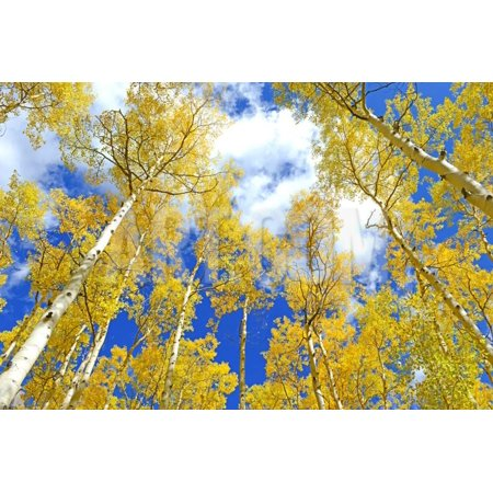 Autumn Foliage: Aspen Trees in Fall Colors Print Wall Art By robert