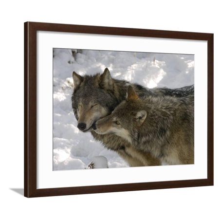 Gray Wolf, Two Captive Adults Kissing, Montana, USA Framed Print Wall Art By Daniel J. - Wolf Grey Retro 5 For Sale