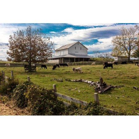 Cows graze in grassy field in front of white barn, rural Virginia Print Wall Art ()
