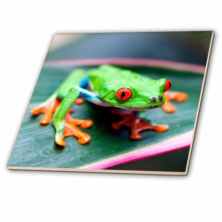 3dRose Red eyed Tree Frog on leaf, Costa Rica - Ceramic Tile, 6-inch (Frog Tile)