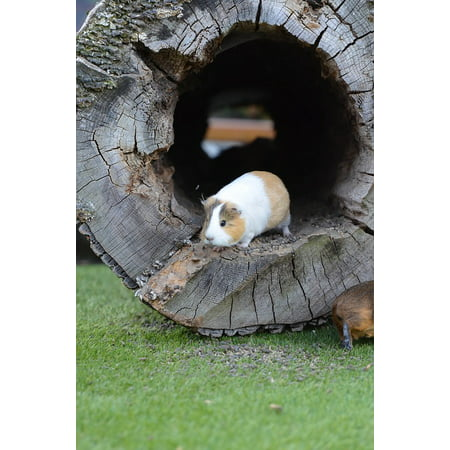 Zoo Pig - Canvas Print Guinea Pig Eat External Attitude Zoo Sweet Small Stretched Canvas 10 x 14