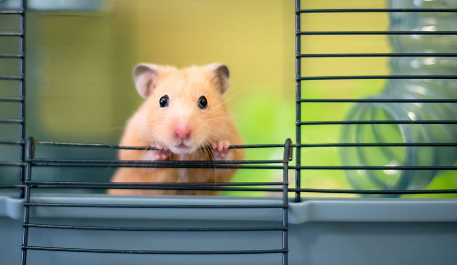 hamster peeking out of cage
