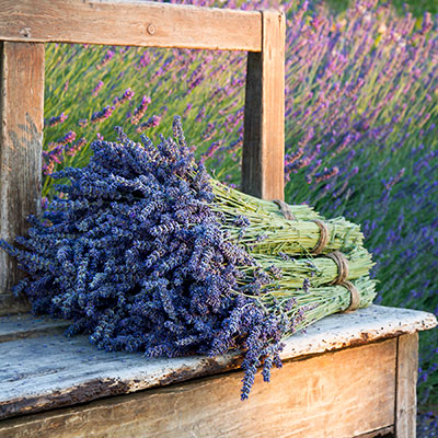 image of a bushel of fresh picked lavender flowers sitting on a wooden bench