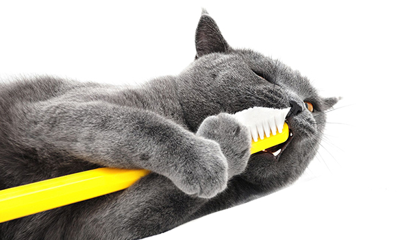 Cat getting their teeth brushed