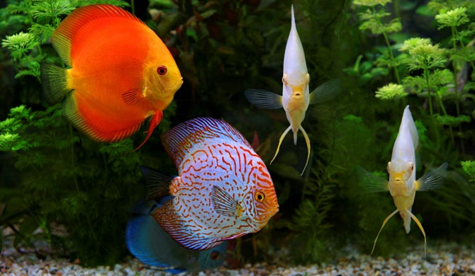 Types of pet fish store pictures to pin on pinterest for Cute freshwater fish