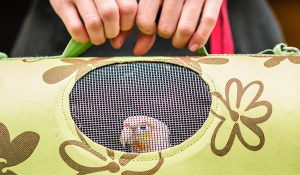 Person taking their bird in pet carrier