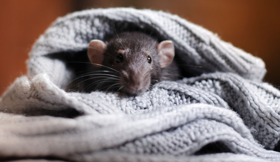 grey mouse wrapped in a grey sweater