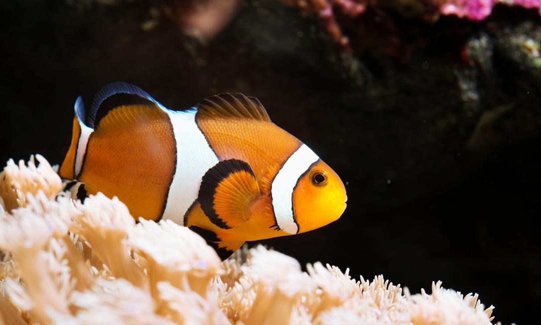 Types of Home Aquarium Freshwater Fish - Walmart com