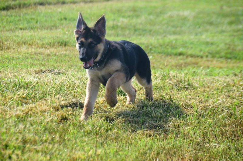 Royal Canin German Shepherd Puppy Dry Dog Food, 30 lb