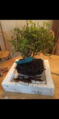 Pomegranate Bonsai Tree Walmart Com Walmart Com