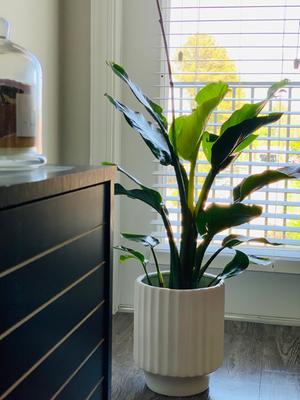 Costa Farms Live Indoor 3ft White Bird Of Paradise Grower Pot Walmart Com Walmart Com