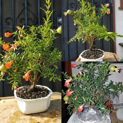 Pomegranate Bonsai Tree Walmart Com Walmart Com