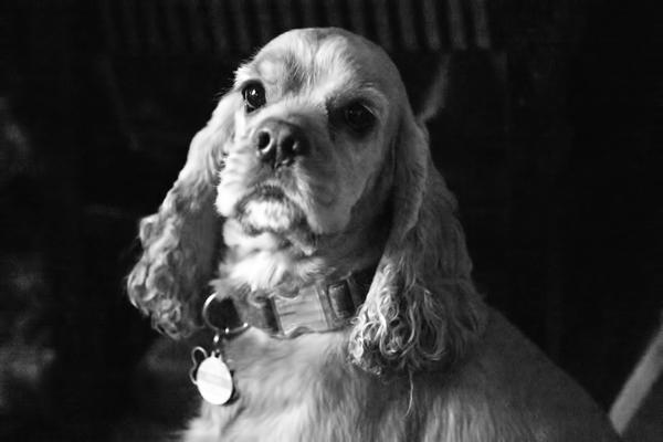 Image result for cocker spaniel on porch bench